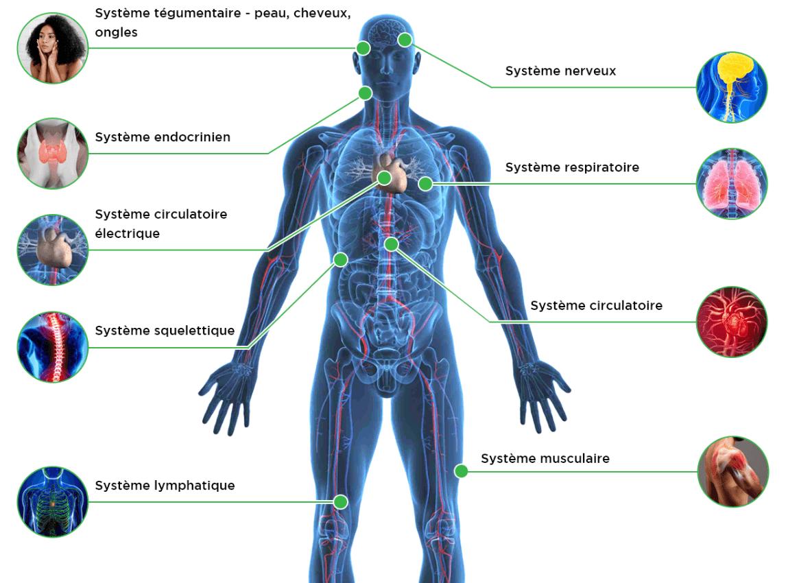 cbd systèmes dans le corps humain et système endocannabinoïde