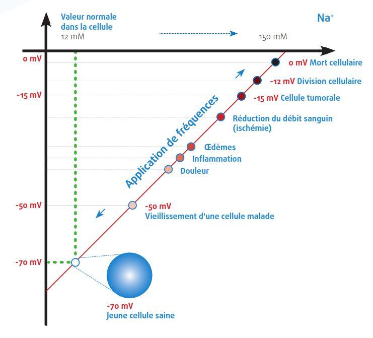 Modèle de tension de la membrane cellulaire